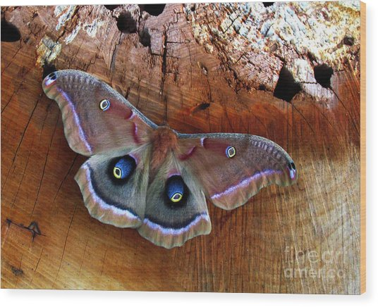 Polyphemus Moth Wood Print