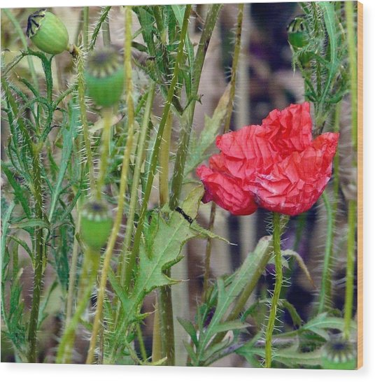 Popped Poppy Wood Print by Rdr Creative