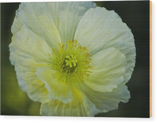 Poppy Night Out Wood Print