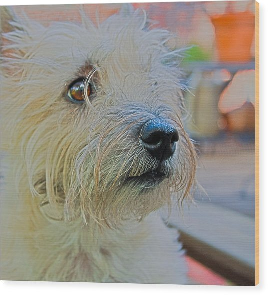 Portrait Of A Cairn Terrier Wood Print