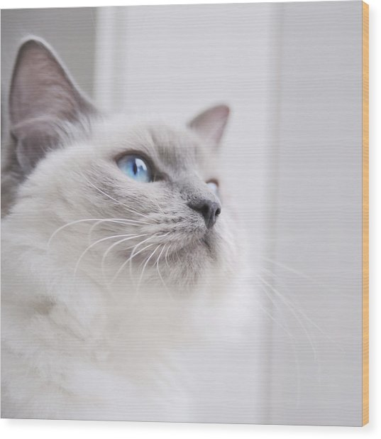 Portrait Of A Ragdoll Cat Wood Print