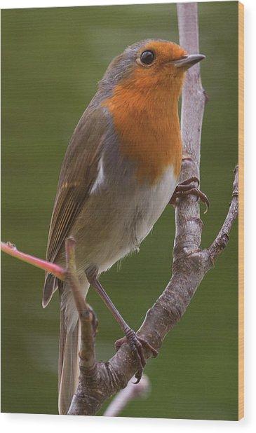 Portrait Of A Robin Wood Print