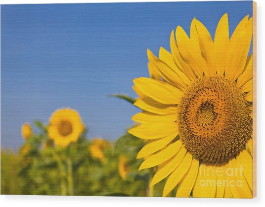 Portrait Of A Sunflower In The Field  Wood Print