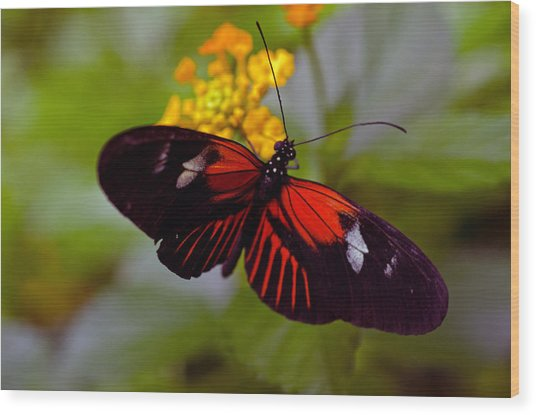 Postman Butterfly Wood Print by Cheryl Cencich