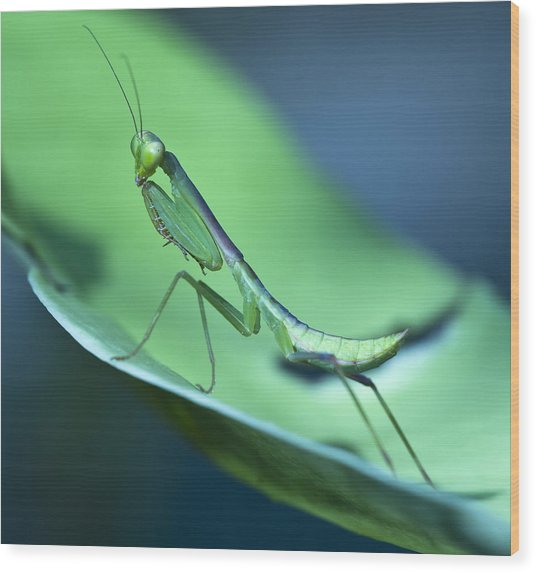 Praying Mantis IIi Wood Print