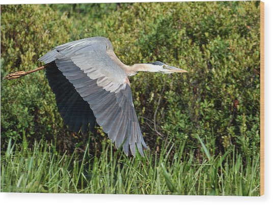 prehistoric looking Great Blue Heron Wood Print