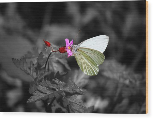 Pretty Margined White Butterfly Wood Print