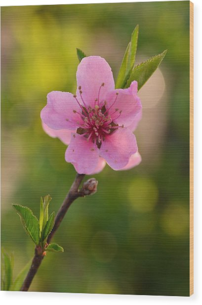 Pretty Pink Peach Wood Print