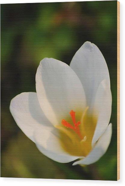 Pretty White Crocus Wood Print