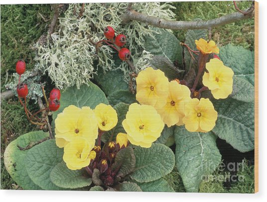 Primroses Wood Print by Archie Young
