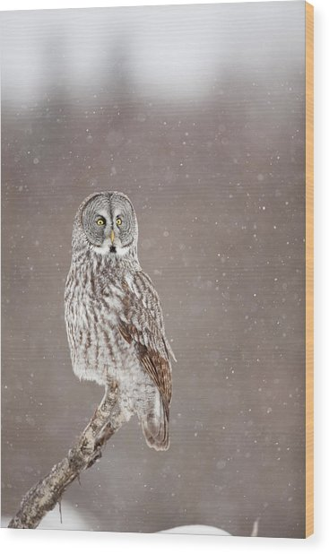 Profile Of A Great Gray Owl Wood Print by Tim Grams