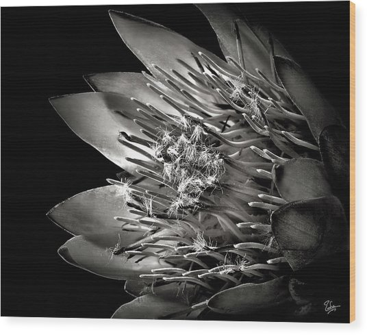 Protea In Black And White Wood Print