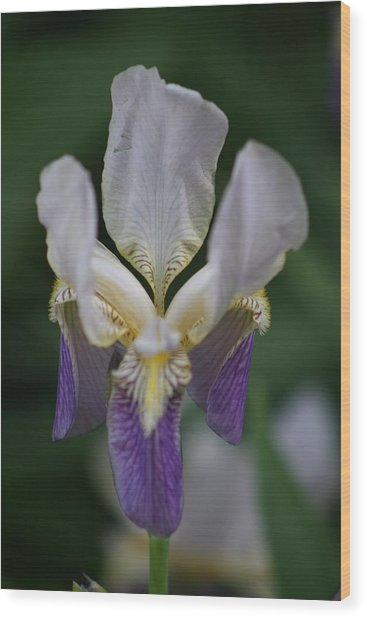 Purple And White Iris 2 Wood Print by George Miller