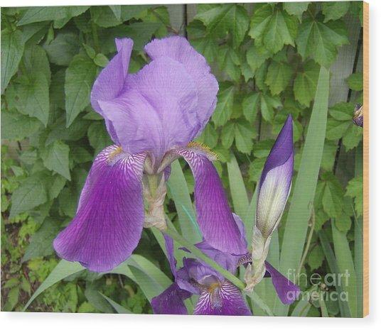 Purple Bearded Iris Wood Print by Jane Whyte