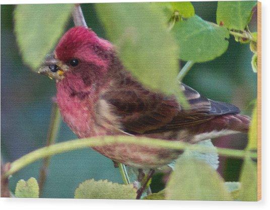 Purple Finch 3 Wood Print