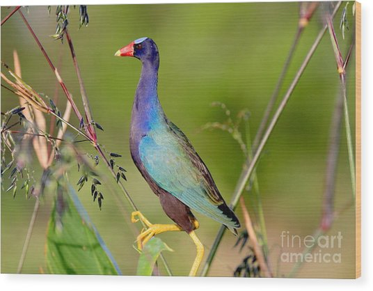 Purple Gallinule Wood Print