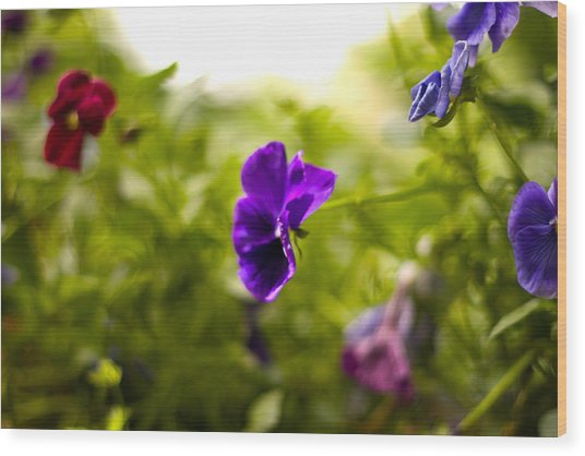 Purple Pansy Wood Print by Benjamin Clark