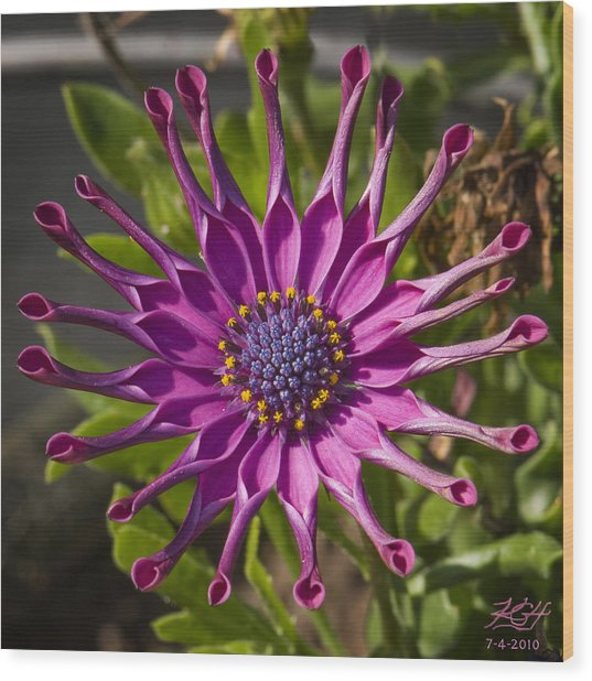 Purple Sun Wood Print
