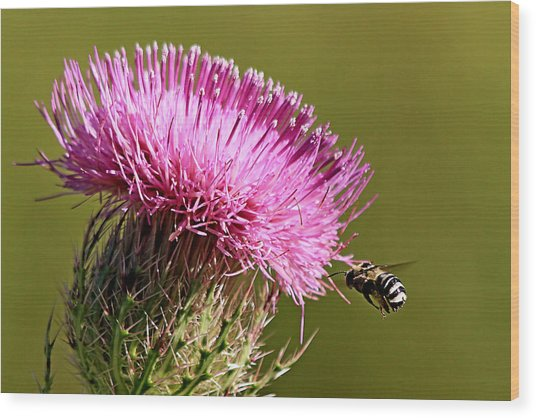Purple Thistle Visited By A Bee Wood Print