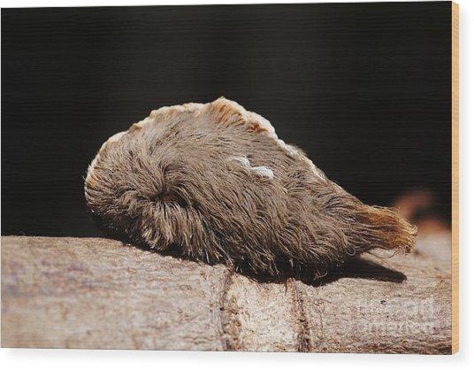 Puss Caterpillar Wood Print by Lynda Dawson-Youngclaus