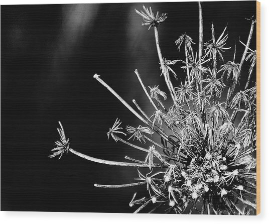 Queen Anne's Lace - 2 Wood Print by John Girt