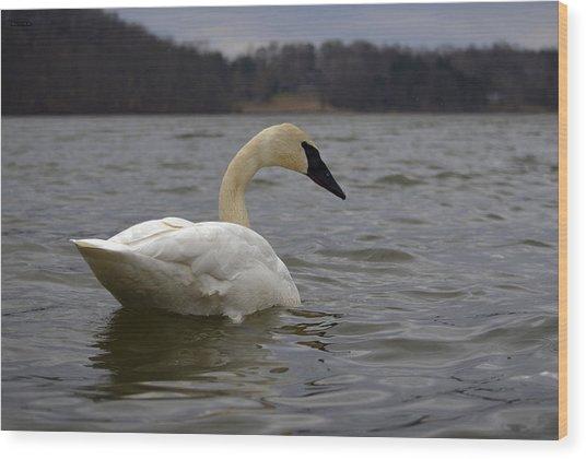 Rain Swan 2 Wood Print by Brian Stevens