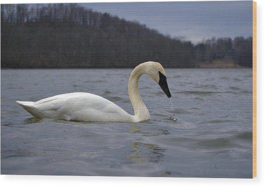 Rain Swan Wood Print by Brian Stevens