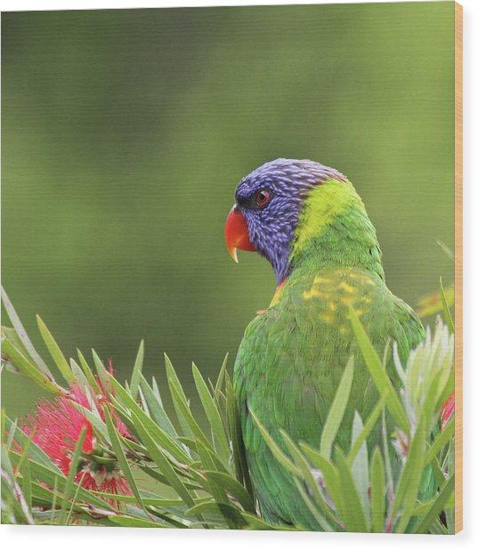 Rainbow Lorikeet Wood Print by Christina Port Photography
