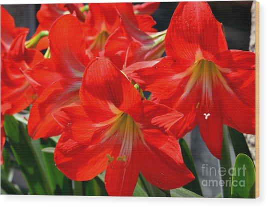 Red Amaryllis Flowers Wood Print