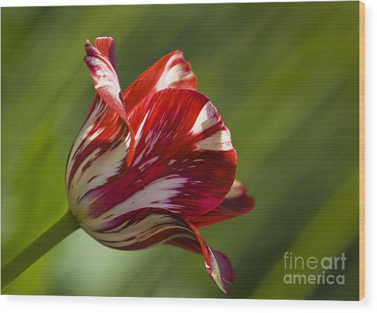 Red And White   Rouge Et Blanc Wood Print by Nicole  Cloutier Photographie Evolution Photography