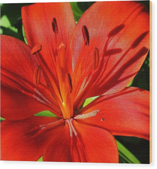 Red Asiatic Lily Wood Print by Bruce Bley