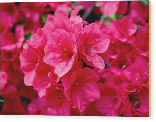 Red Azalea Wood Print