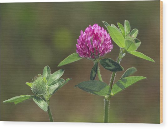 Red Clover Blossom Wood Print