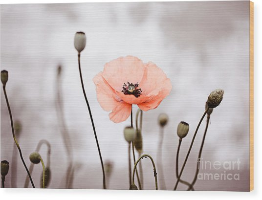 Red Corn Poppy Flowers 01 Wood Print
