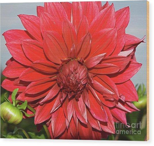 Red Dalia Wood Print
