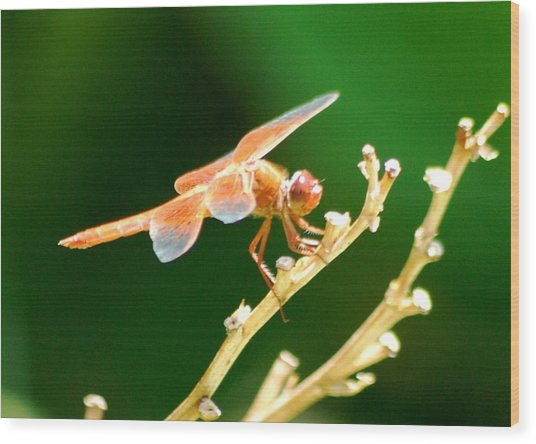 Red Dragonfly Wood Print by Meeli Sonn