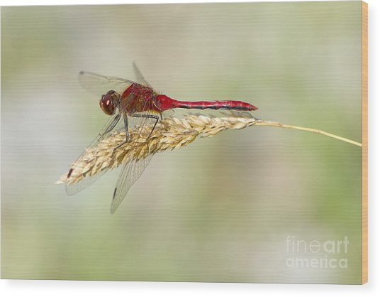 Red Dragonfly Wood Print by Sharon Talson