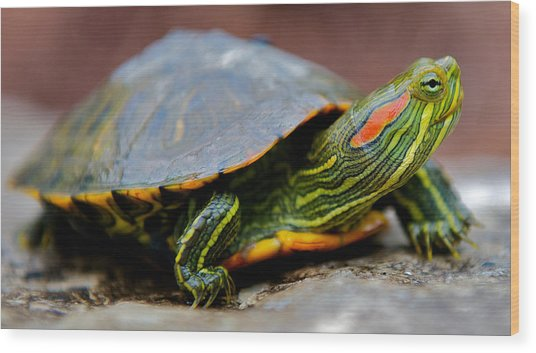 Red Eared Slider Turtle Side View Wood Print by Kelly Riccetti
