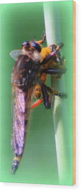 Red-footed Cannibal Fly With His Prey Wood Print by Maureen  McDonald