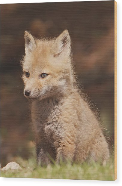 Red Fox Kitt Wood Print