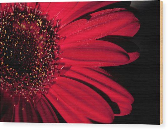 Red Gerbera Wood Print