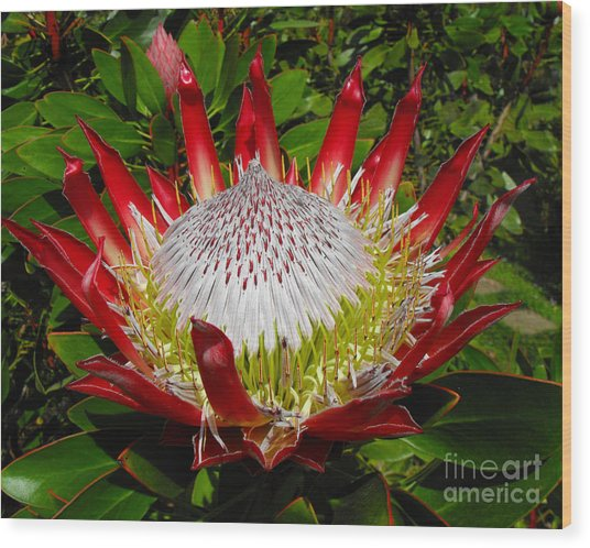 Red King Protea Wood Print