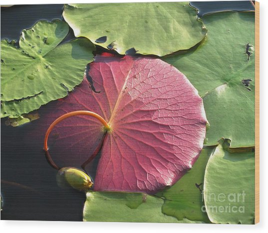 Red Lily Pad Wood Print