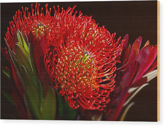 Red Protea Flower Wood Print by Michelle Armstrong