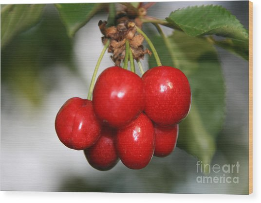 Red Ripe Cherries Wood Print
