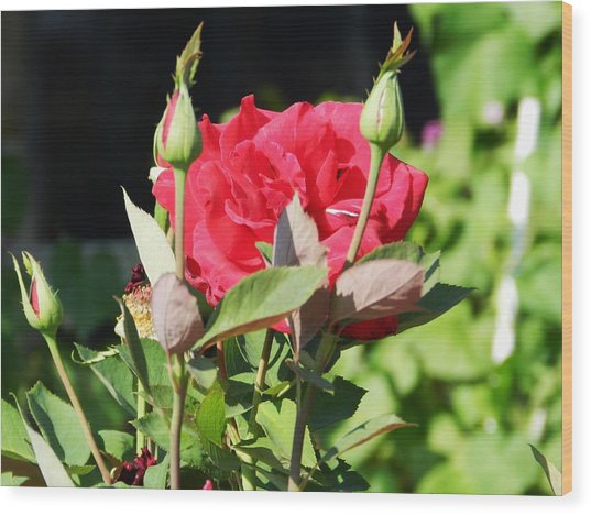 Red Roses Wood Print by LaDonna Vinson