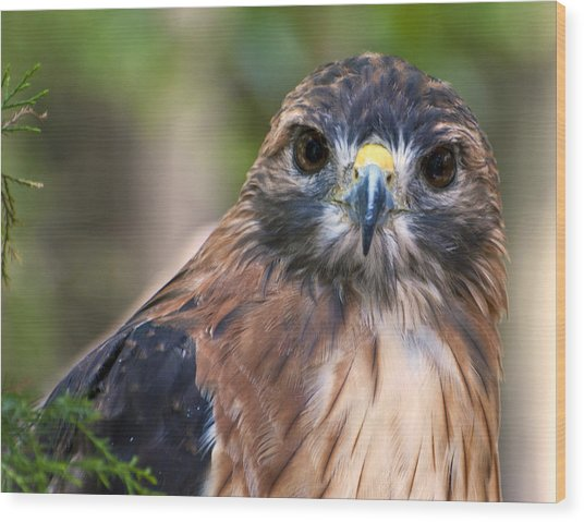 Florida Red Shoulder Hawk  Wood Print