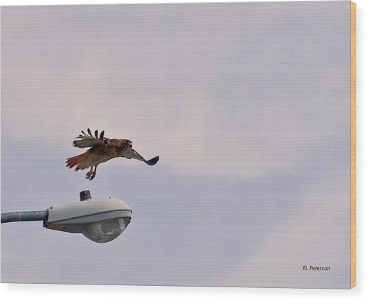 Red-tailed Hawk In Flight Wood Print