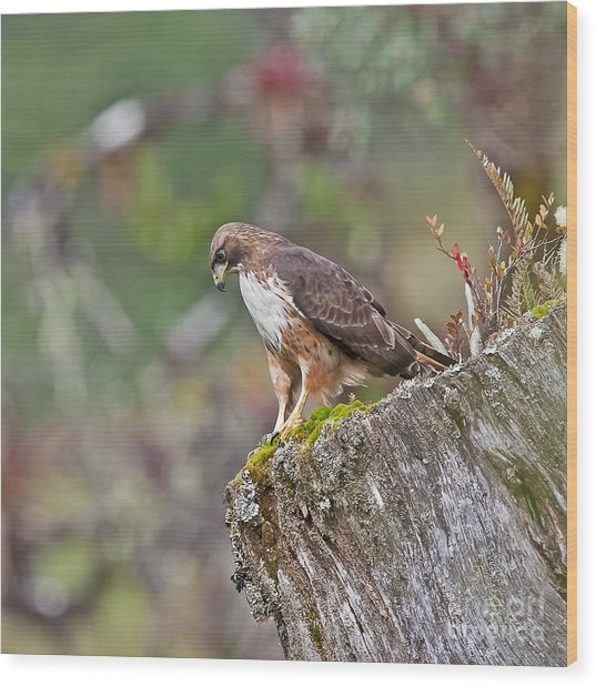 Red-tailed Hawk Wood Print