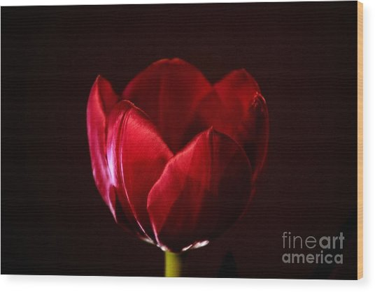 Red Tulip Wood Print